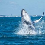 AMAZING WHALE WATCHING TOURS FROM FREMANTLE